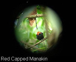 Red-capped Manakin -  Drake Bay